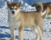 vde Alaskan klee kai puppies for sale