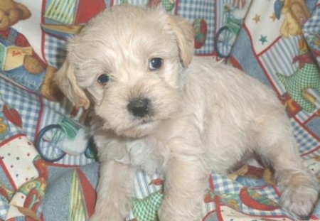 Asfwe Schnoodle Puppies for Sale