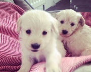 fhs Labradoodle puppies for sale