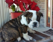 sfa English Bulldog puppies for sale