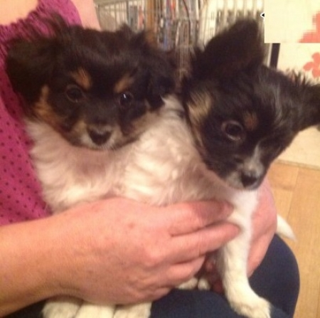 Sfa Papillon Puppies for Sale