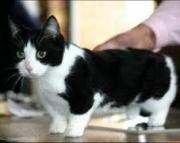 svgg Munchkin kittens for sale