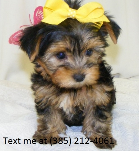 Sdg Yorkshire Terrier Puppies For Sale