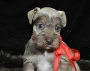 dgs Schnauzer puppies for sale