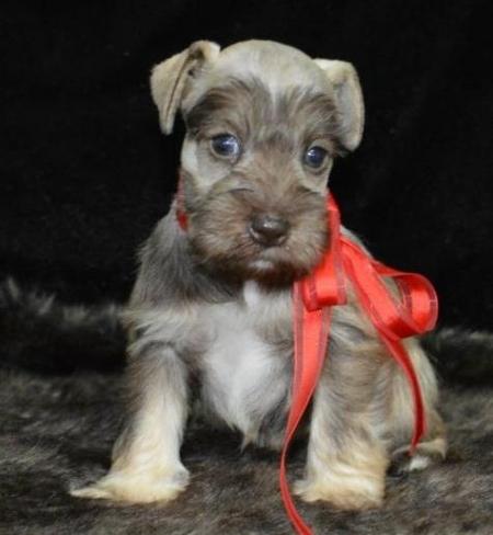 Dgs Schnauzer Puppies for Sale