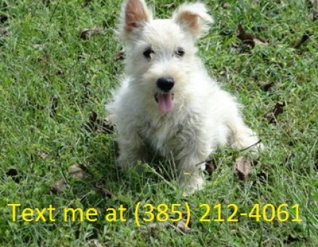 Dafg West Highland White Terrier Puppies For Sale