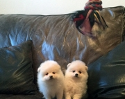 saf Pomeranian Puppies For Sale