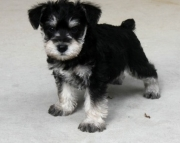 Pleasing Miniature Schnauzer Puppies For Sale