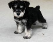 Pleasing Miniature Schnauzer Puppies For Sale