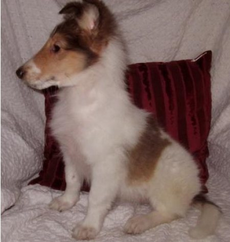 Serene Collie Puppies For Sale