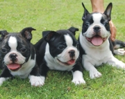 Pleasant Boston Terrier Puppies For Sale