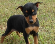 Sharp Miniature Pinscher Puppies For Sale