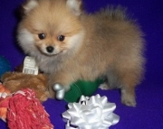 Intelligent Pomeranian Puppies For Sale