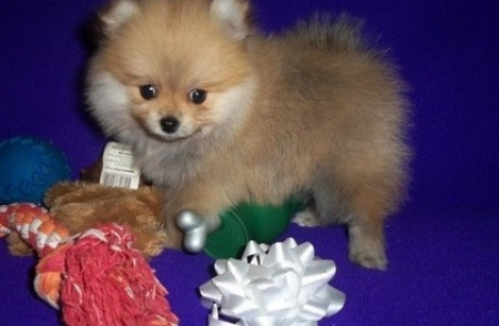 Intelligent Pomeranian Puppies For Sale
