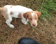 Inspiring Brittany Puppies For Sale