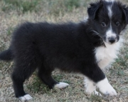 Breathtaking Shetland Sheepdog Puppies For Sale