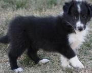 Breathtaking Shetland Sheepdog Puppies For Sale