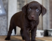 Unparalleled Labrador Retriever Puppies For Sale