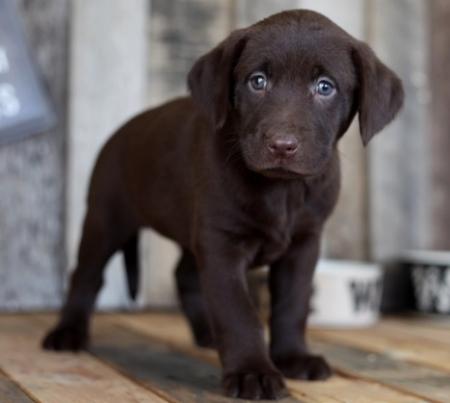 Unparalleled Labrador Retriever Puppies For Sale