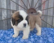 Fortitudinous Saint Bernard Puppies For Sale