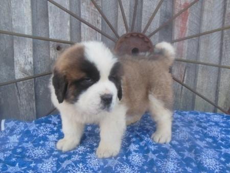 Fortitudinous Saint Bernard Puppies For Sale