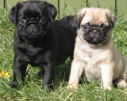 Joyful Pug Puppies For Sale