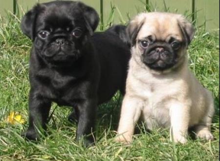 Joyful Pug Puppies For Sale