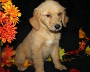 Decent Golden Retriever Puppies For Sale