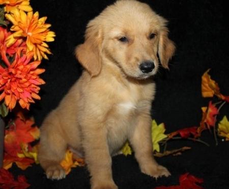 Decent Golden Retriever Puppies For Sale
