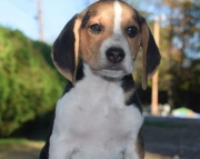 Perfect Beagle Puppies For Sale