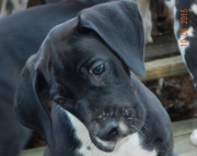 Valuable Great Dane Puppies For Sale