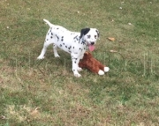 Generous Dalmatian Puppies For Sale