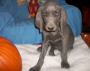 Gallant Weimaraner Puppies For Sale