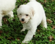 Delightful Bichon Frise Puppies For Sale