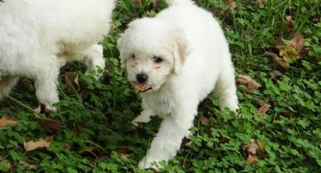 Delightful Bichon Frise Puppies For Sale