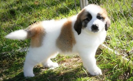 Sparkling Saint Bernard Puppies For Sale