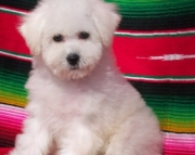 Kindly Bichon Frise Puppies For Sale