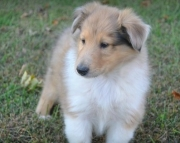 Elegant Collie Puppies For Sale