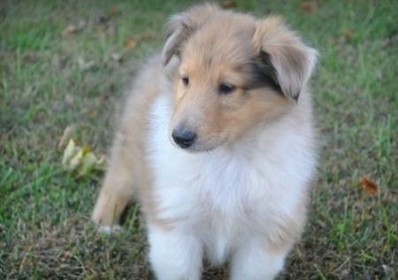 Elegant Collie Puppies For Sale