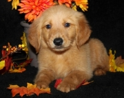 Judicious Golden Retriever Puppies For Sale