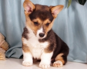 Gleaming Pembroke Welsh Corgi Puppies For Sale