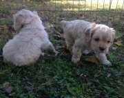 Buoyant Cocker Spaniel Puppies For Sale