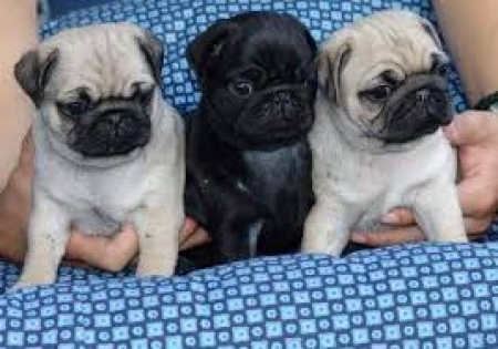 Glowing Pug Puppies For Sale