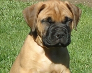 Gentle Bullmastiff Puppies For Sale