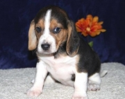 Vigorous Beagle Puppies For Sale