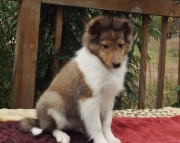 Shrewd Shetland Sheepdog Puppies For Sale