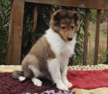 Shrewd Shetland Sheepdog Puppies For Sale