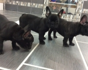 Spectacular French Bulldog Puppies For Sale