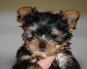 Vigilant Yorkshire Terrier Puppies For Sale