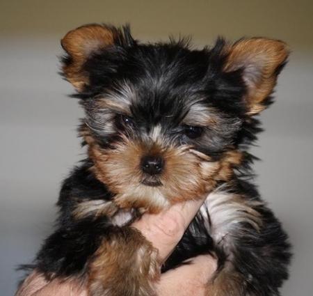Vigilant Yorkshire Terrier Puppies For Sale